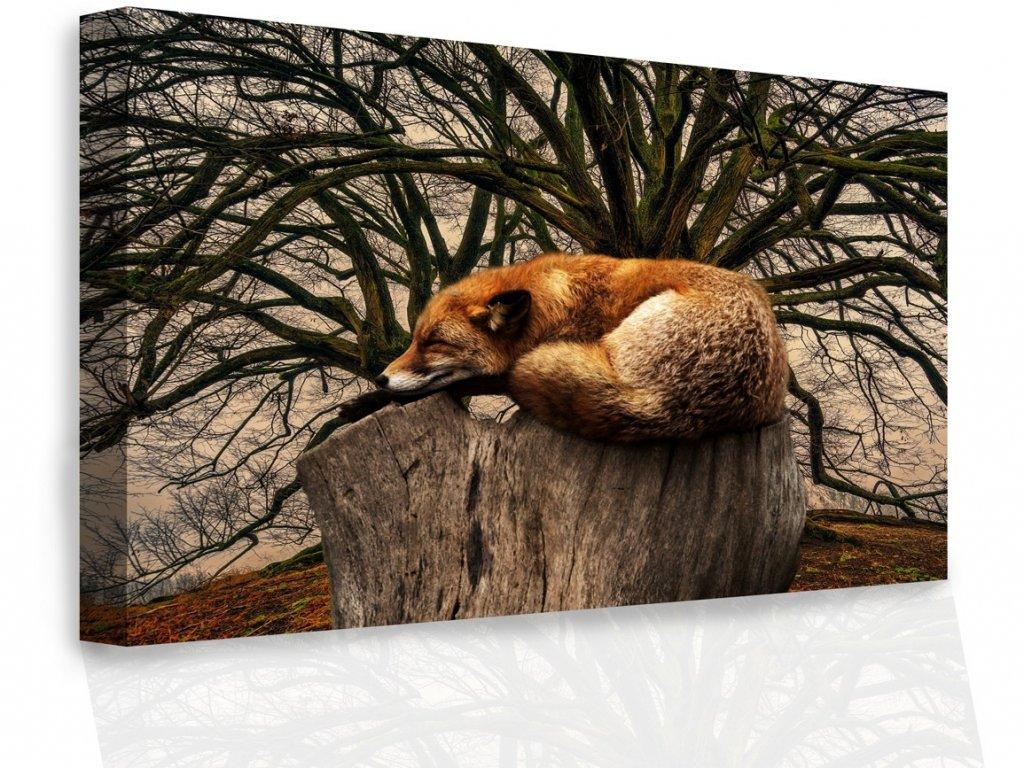Obraz - Spící liška (Velikost 90x60 cm)