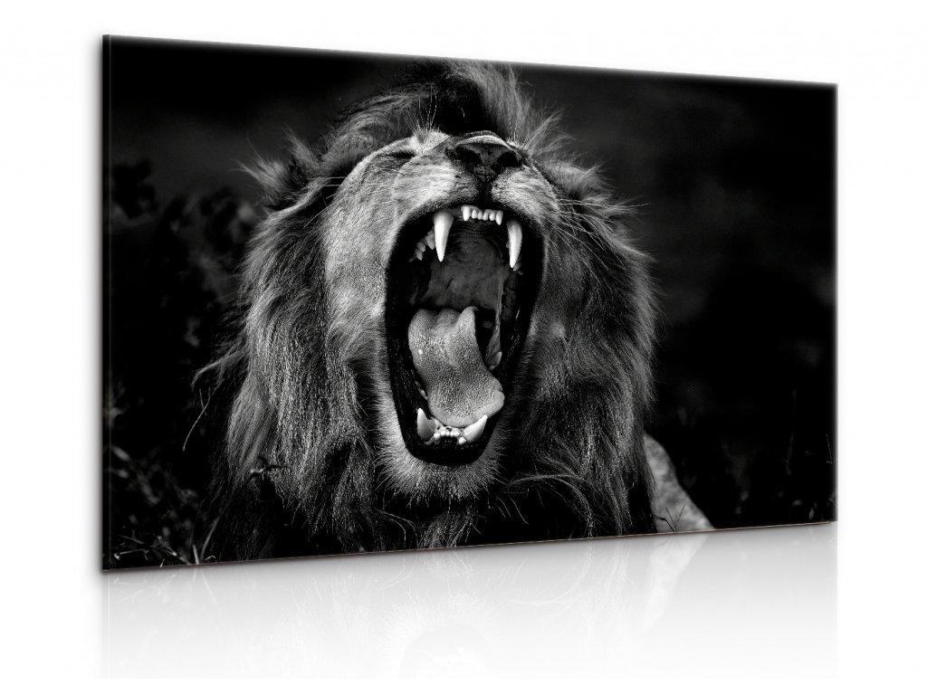 Obraz černobílý královský lev (Velikost 90x60 cm)