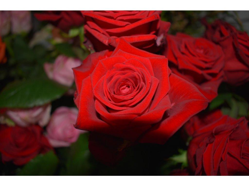 Růže červená