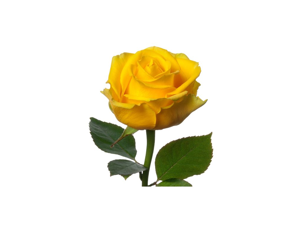 109164 yellow penny lane rose 1000px 1 1 removebg preview