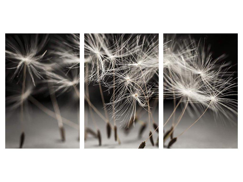 Obraz třídílný 100 x 50 cm semínka pampelišky