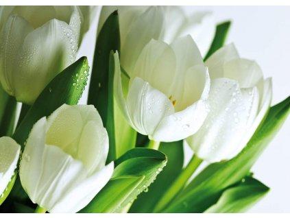obraz bílý tulipán