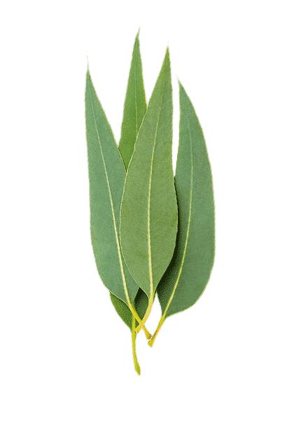 esencialni-olej-eukalyptus