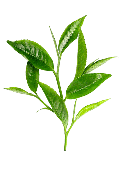 esencialni-olej-tea-tree