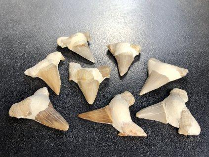 fosilní zub žralok