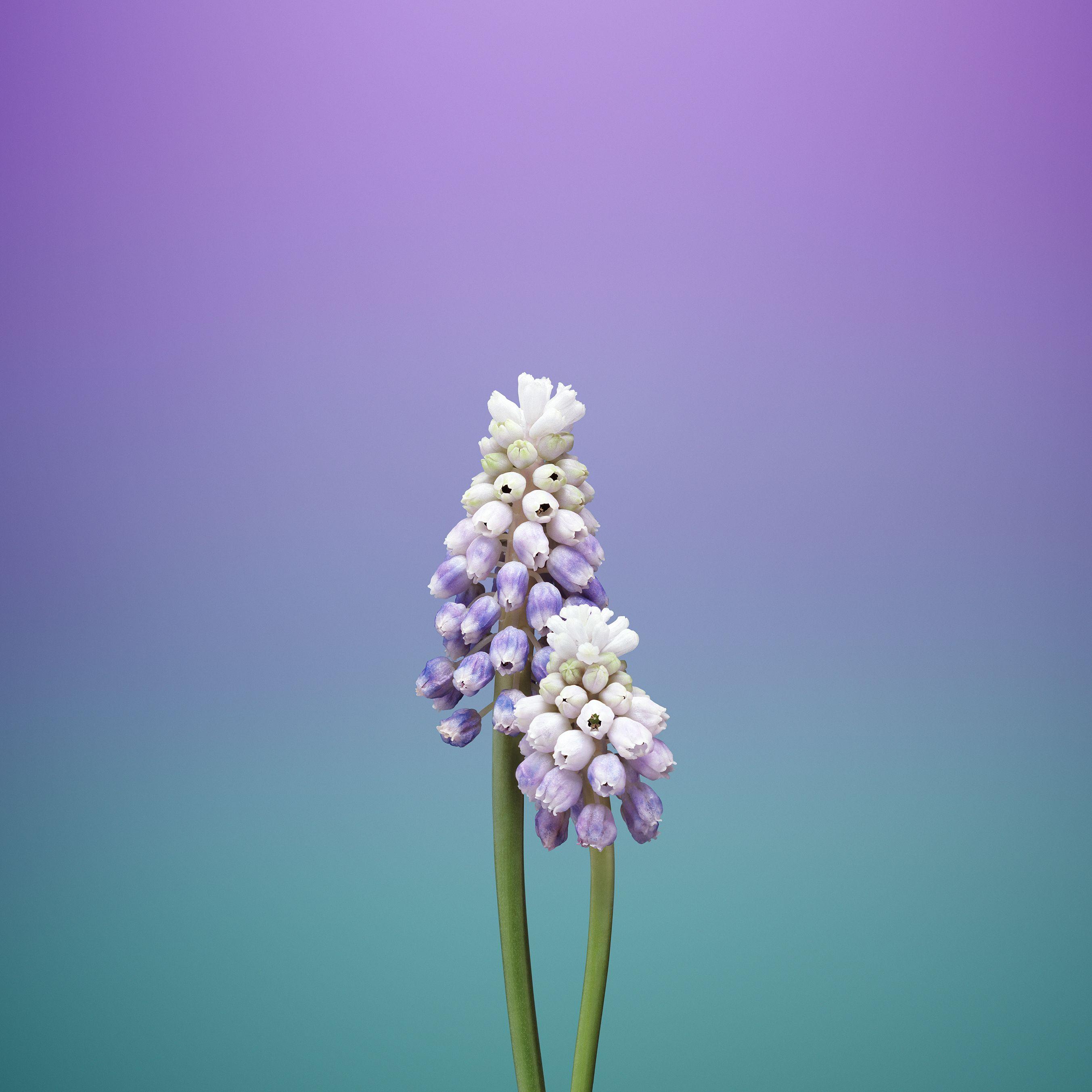 iPhone_wallpaper_flower
