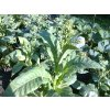 Tabák Hickory Pryor - 100 semen