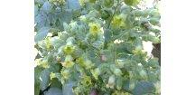 Tabák Sacred Cornplanter - 100 semen