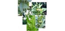 Sada pěti nejpoužívanějších odrůd tabáku ! - 500 semen