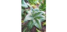 Tabák Gold Leaf Orinoco - 100 semen