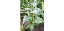 Tabák Virginia Bright Leaf - 100 semen
