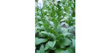 Tabák Havana 142 - 100 semen