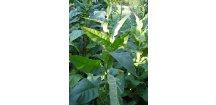 Tabák Orinoco - 100 semen