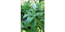 Tabák Virginia (VA) 116 - 100 semen