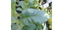Tabák Cuban Criollo 98 - 100 semen