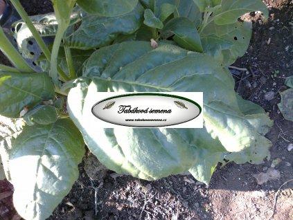 Tabák Indiánský - 100 semen