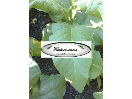 Tabák Silk Leaf - 100 semen