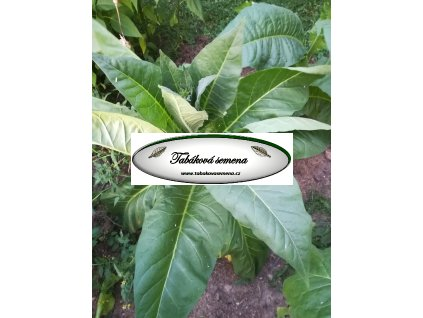 Tabák Connecticut 49 - 100 semen