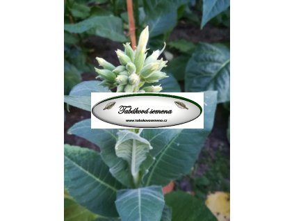 Tabák Yellow Twist Bud - 100 semen