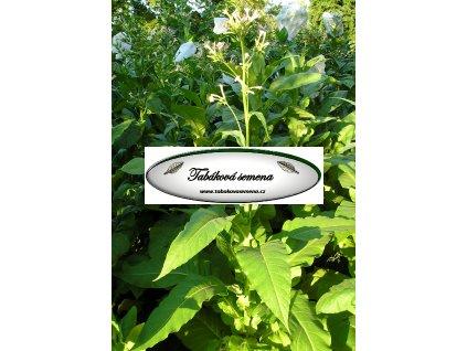 Tabák Golden Burley - 100 semen