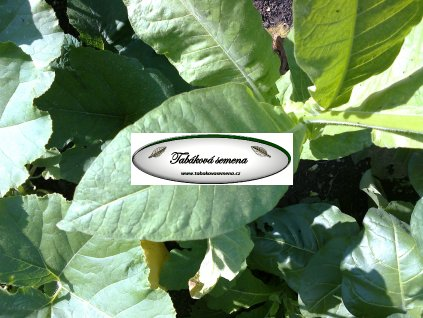 Tabák Connecticut Broadleaf - 100 semen