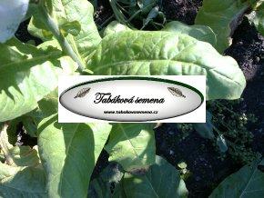 Tabák Chilean - 100 semen