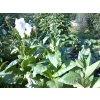 Tabák Italský - 100 semen