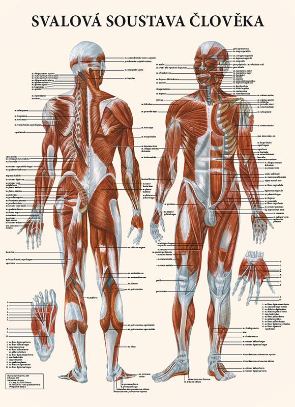 Vydavatelství Poznání Anatomická mapa - Svalová soustava člověka