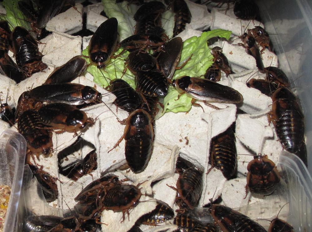 Chov švábů - Blaptica dubia