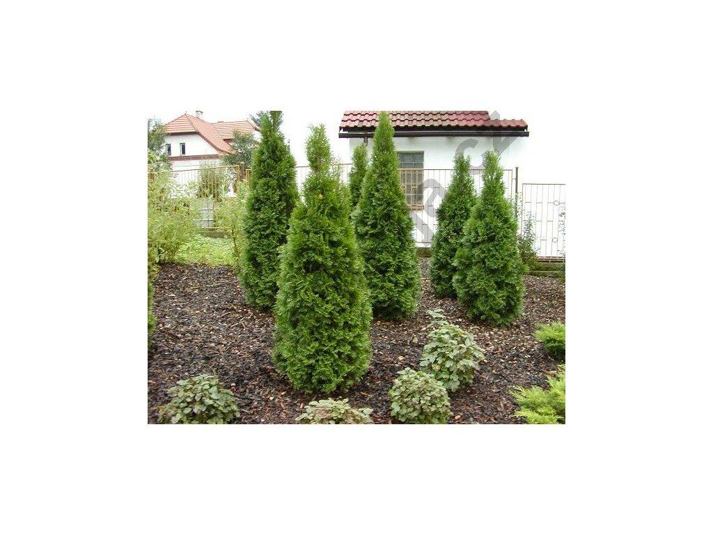 Thuja occidentalis Smaragd 120 - 130 cm