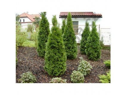 Thuja occidentalis Smaragd 120 - 130 cm