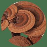 Lesklokorka-leskla-Ganoderma-lucidum-Lingzhi-Reishi