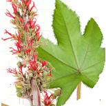 Rastlina ricínového oleja