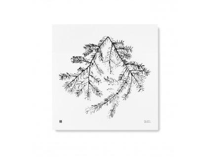 Plakát Smrkové větve 50x50