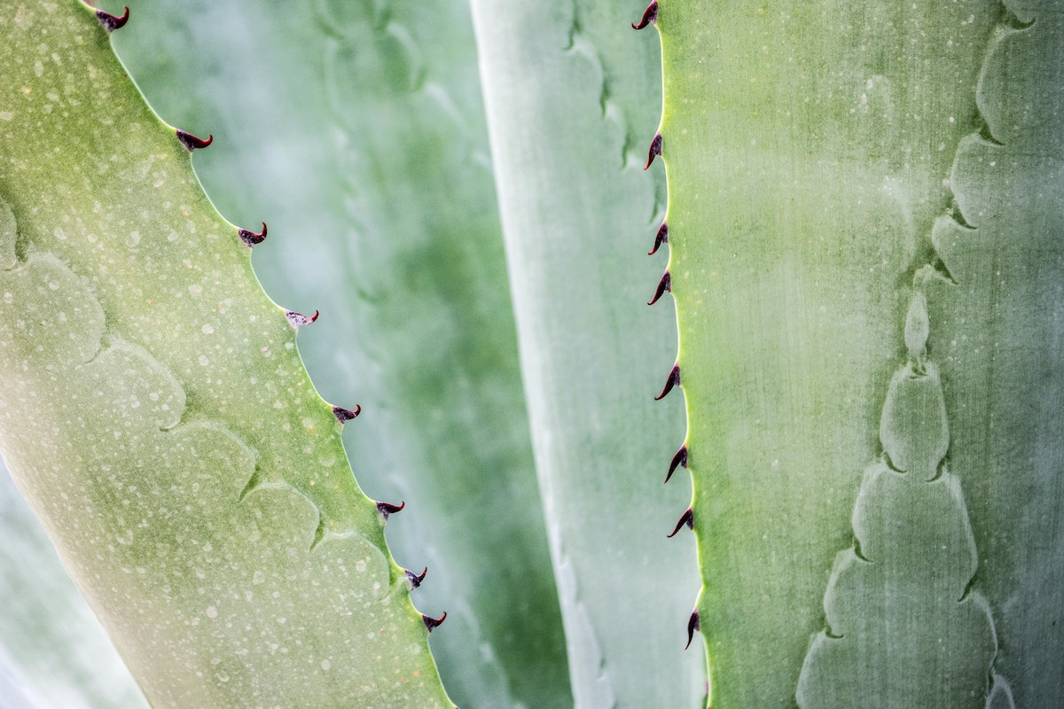 close-up-photography-of-aloe-vera-plant-1578504
