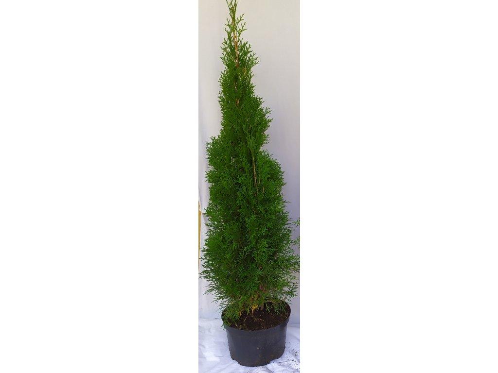Thuje Smaragd 100-120cm