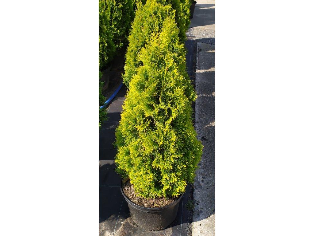 Thuje Golden Smaragd 120-140cm