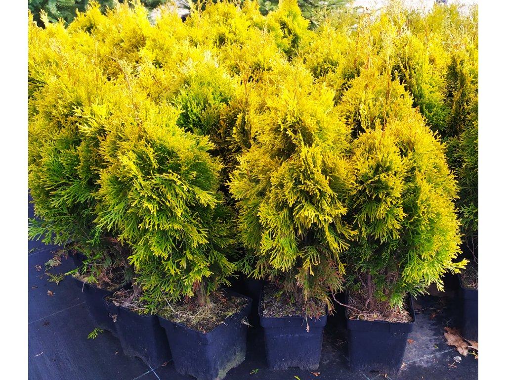 Thuje Golden Smaragd 30-50cm