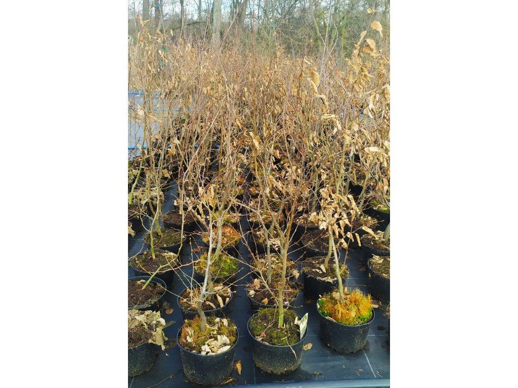 "Habr obecný ""Carpinus betulus"" 50-75 cm"