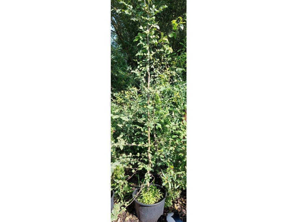 "Habr obecný ""Carpinus betulus"" 75-100 cm"