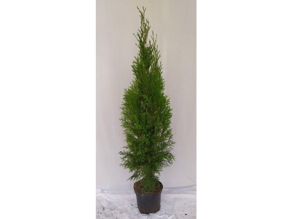 Thuje Smaragd 60-80cm