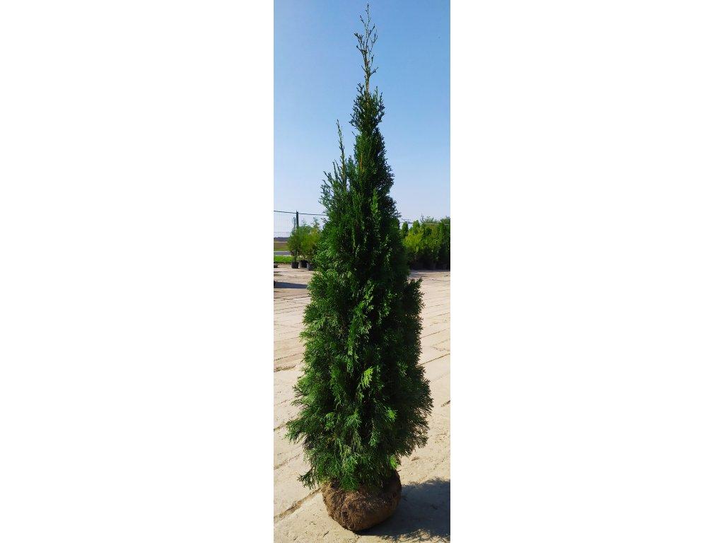 Thuje Smaragd 175-200cm