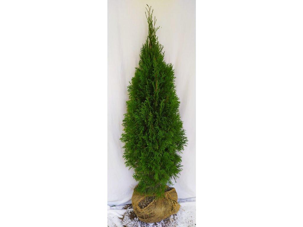 Thuje Smaragd 100-125cm