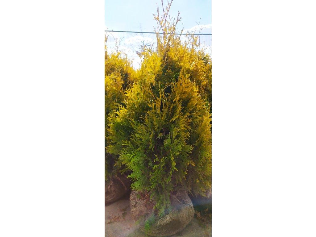 Thuje Yellow Ribbon (zlatá) 150-170cm