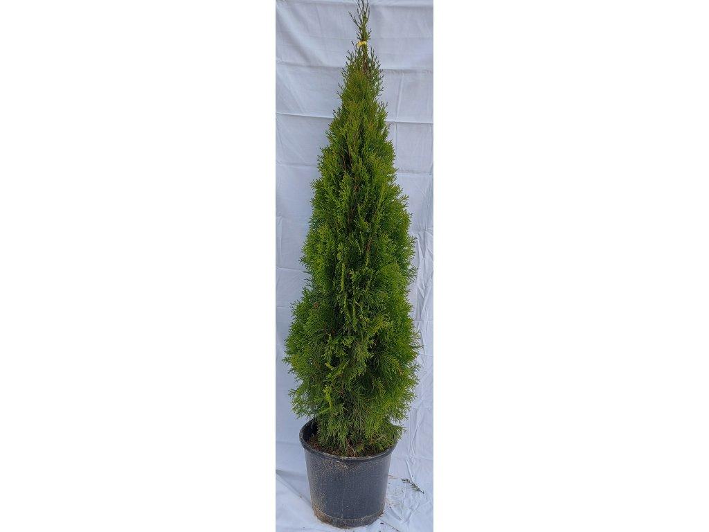 Thuje Smaragd 130-150cm
