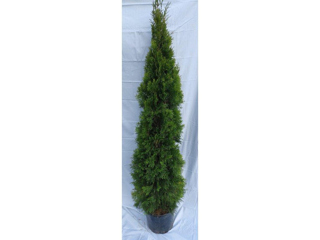 Thuje Smaragd 150-170cm