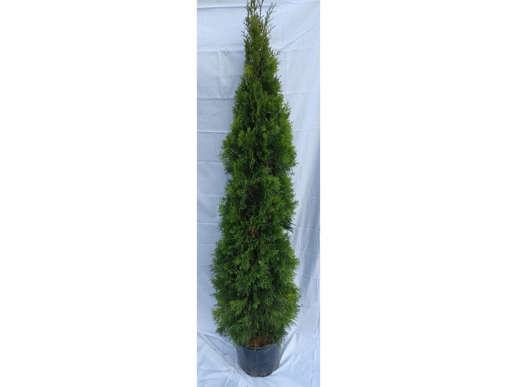 Thuje Smaragd 160-175cm