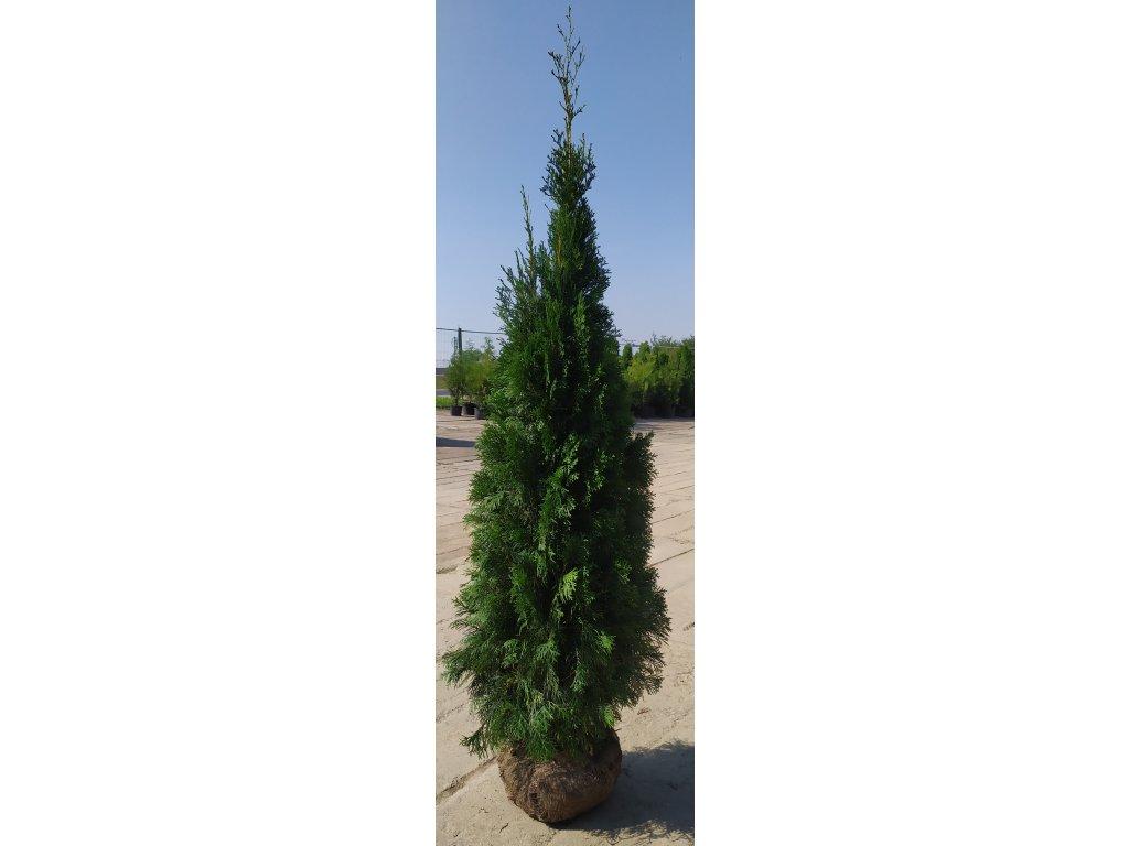 Thuje Smaragd 200-220cm