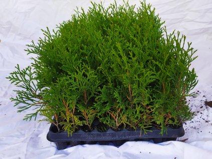 Thuje Smaragd 20-30cm