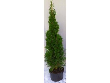 Thuje Smaragd 100-110cm